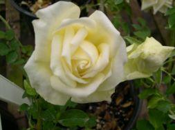 White Marechal Niel Rose