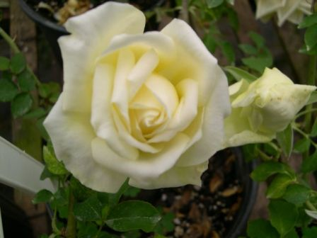 A white Marechal Niel rose.  Marion Rosalie Booth laid the same type of rose onto her aunt's grave.