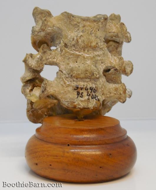 John Wilkes Booth's vertebrae 2